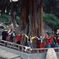 林芝-巨大柏樹