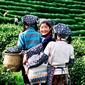 杭州茶摘み